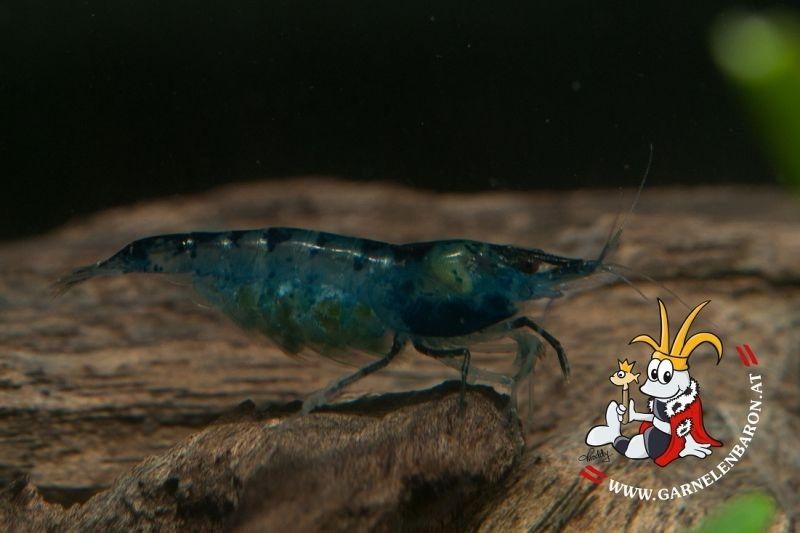 Neocaridina spec. Blue Velvet