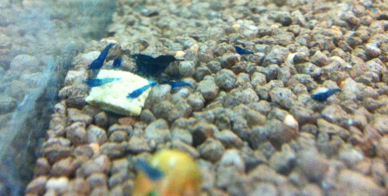 Blue Dream - Blue Velvet Garnelen Nachwuchs
