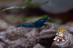 Blue Dream - Blue Velvet Garnelen Nachwuchs Makro3