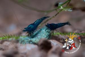 Blue Dream - Blue Velvet Garnelen Nachwuchs Makro2