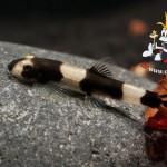 Protomyzon-pachychilus-Panda-Schmerlen